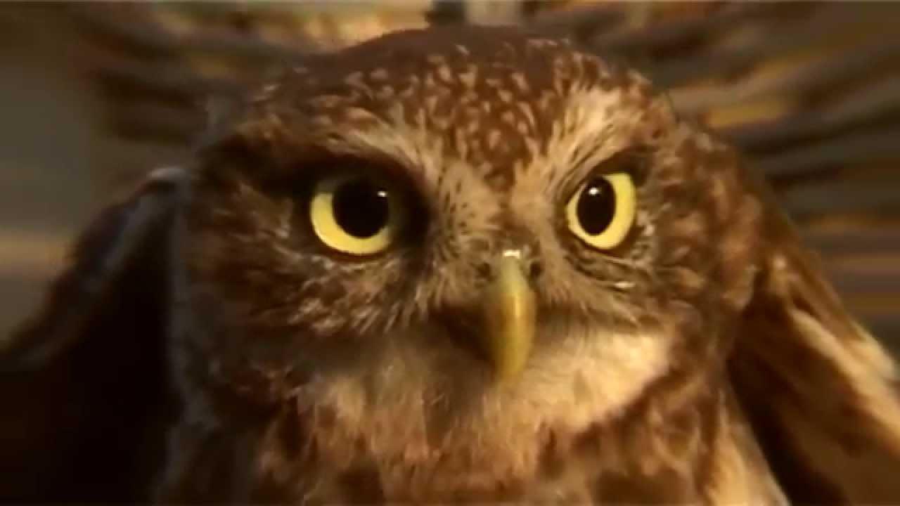 Gradske Ptice - Sova Kukumavka  Sivi  U0107uk
