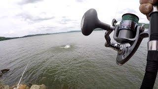 Catfishing From The Bank - Three Catfish One Skipjack Bait!