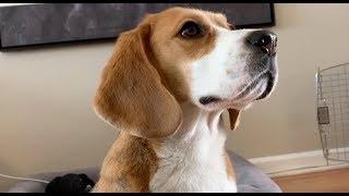Beagle loves bagels