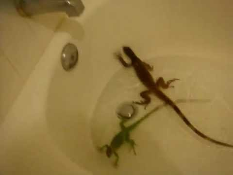 basilisk,water dragon,green and red iguana,frog bath time - YouTube