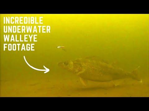 Incredible underwater walleye footage! - YouTube  Incredible unde...