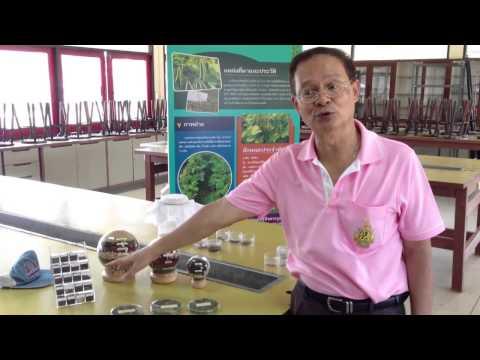 ข้อสนเทศงานวิจัยและพัฒนาพันธุ์ถั่วเขียว มหาวิทยาลัยเกษตรศาสตร์