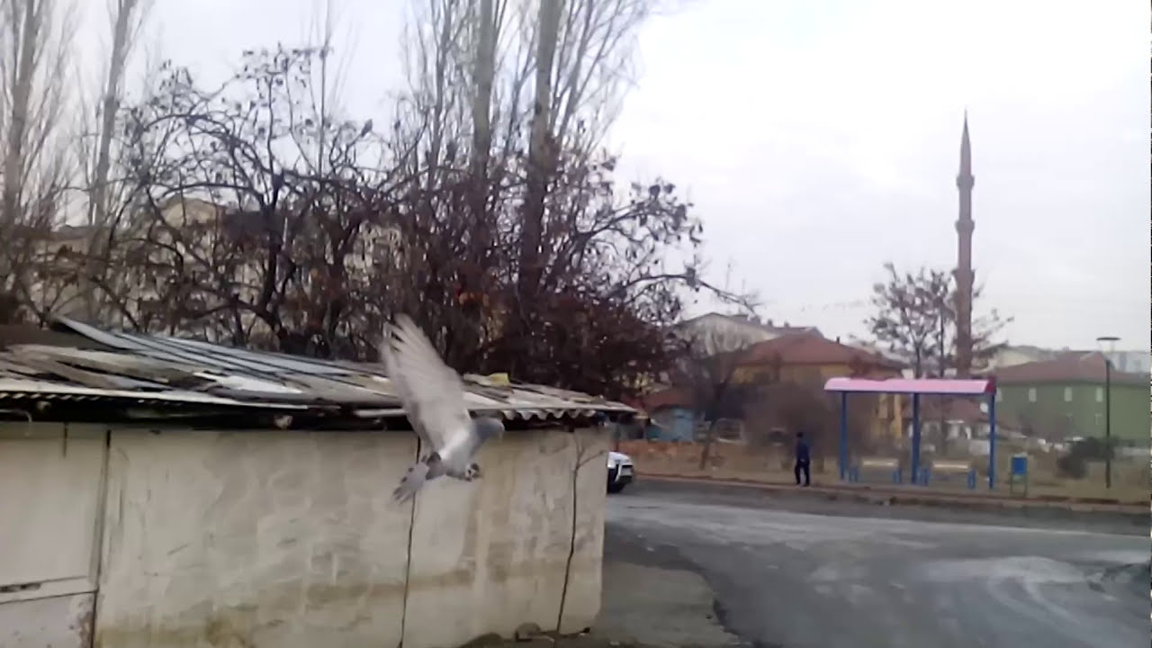 Güvercin Taklacı Saatlik Uçan Kuş Ankara Da Tek Youtube