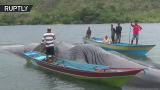 Giant whale washes up on Indonesian island