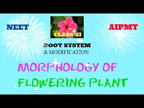 Morphology of flowering plant Root system part 1 class XI