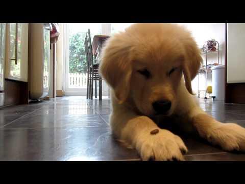 Sam the golden retriever puppy is a clever boy!