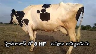HF Cows for Sale in Hyderabad | 9948582390