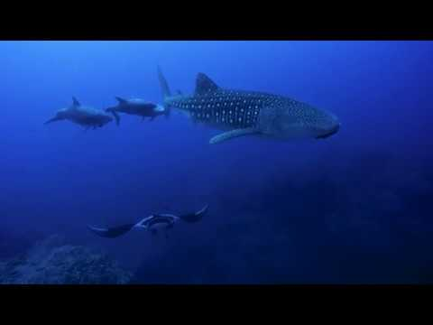Video Of The Week | Scuba Diving The Revillagigedo Islands (Socorro) in Mexico, December - Quino El Guardian