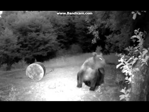 Medveles Bear Watching Cam Romania
