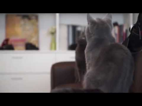 Cats - British short hair and russian blue