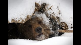 Опасная охота на медведя в берлоге , жесть