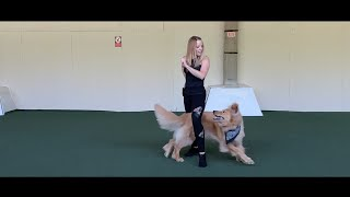 It's My Life  New Dog Dancing Routine of Indy the Hovawart
