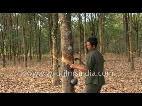 Rubber plantation in Arunachal Pradesh - man taps rubber