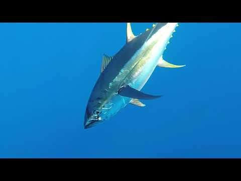 Concrete Cartel - Kite Fishing For Yellowfin Tuna - Oregon Inlet, NC