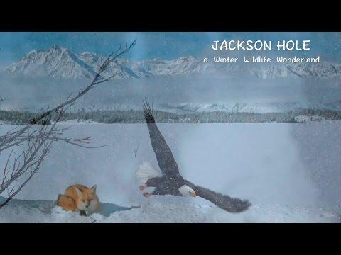 JACKSON HOLE   a Winter Wildlife Wonderland