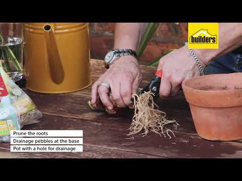 How To Plant Amaryllis Bulbs And Care Instructions