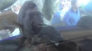 カニ(活けイワガニ)も食べるシマアジ