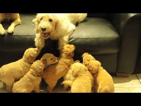 Gorgeous Multi Generation Miniature Labradoodle Puppies