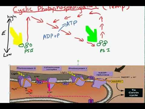 Cyclic and non-cyclic photo-phosphorylation.mp4