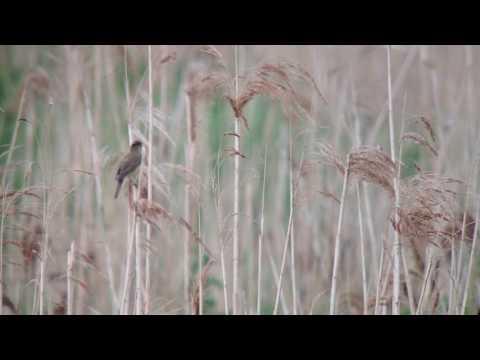 Marsh Warbler, Lakenheath