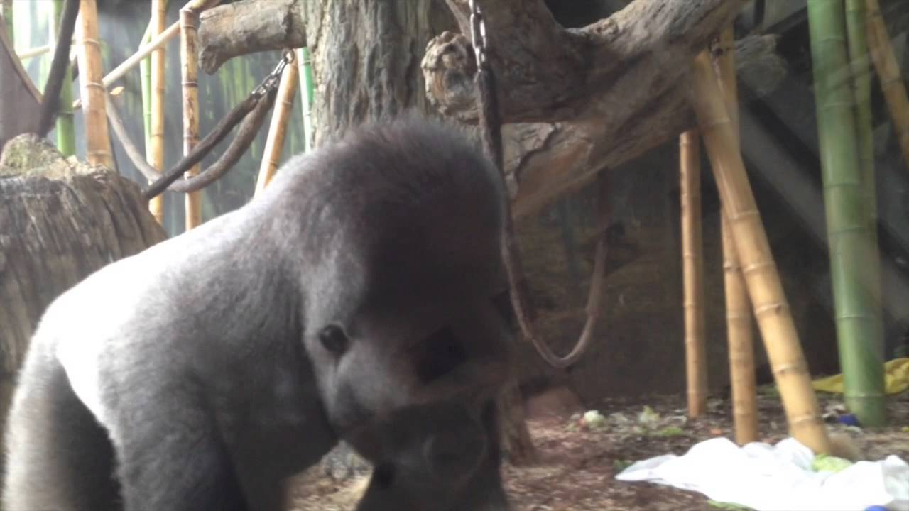 Gorilla Birthday Party At Lincoln Park Zoo