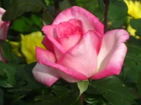 всех роза паваротти фото игрушки