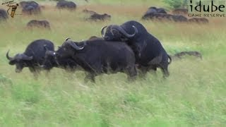 Sex In The Wild: Animals Mating - Buffalo Style!