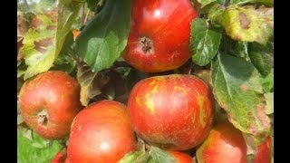 Gambar cover Apple variety May Queen