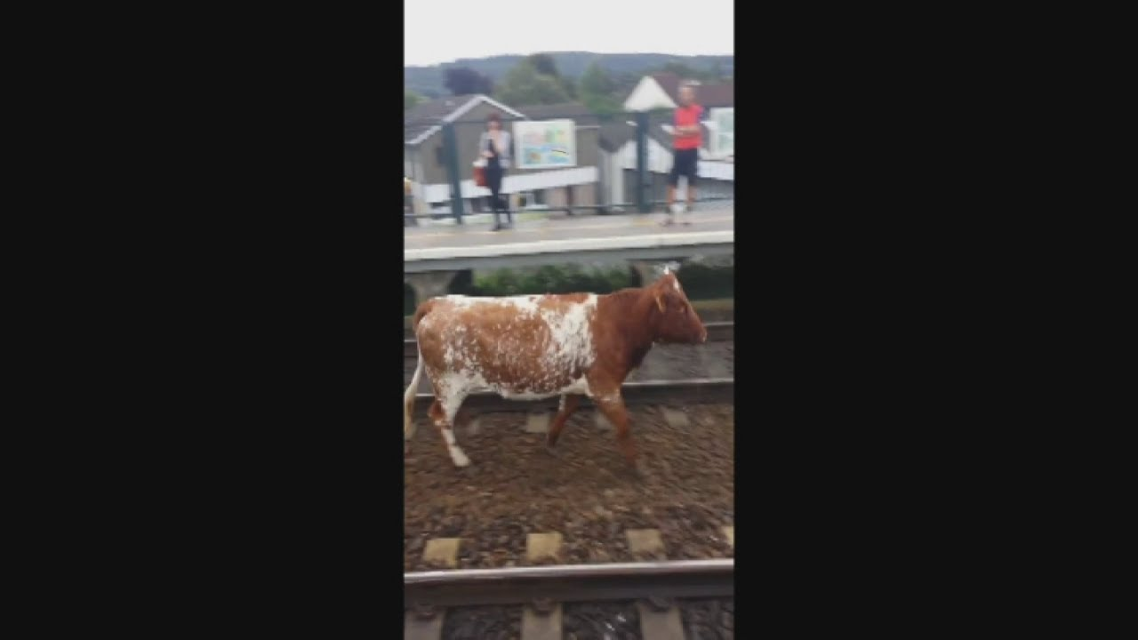 cow on the tracks animal brings trains to a standstill in