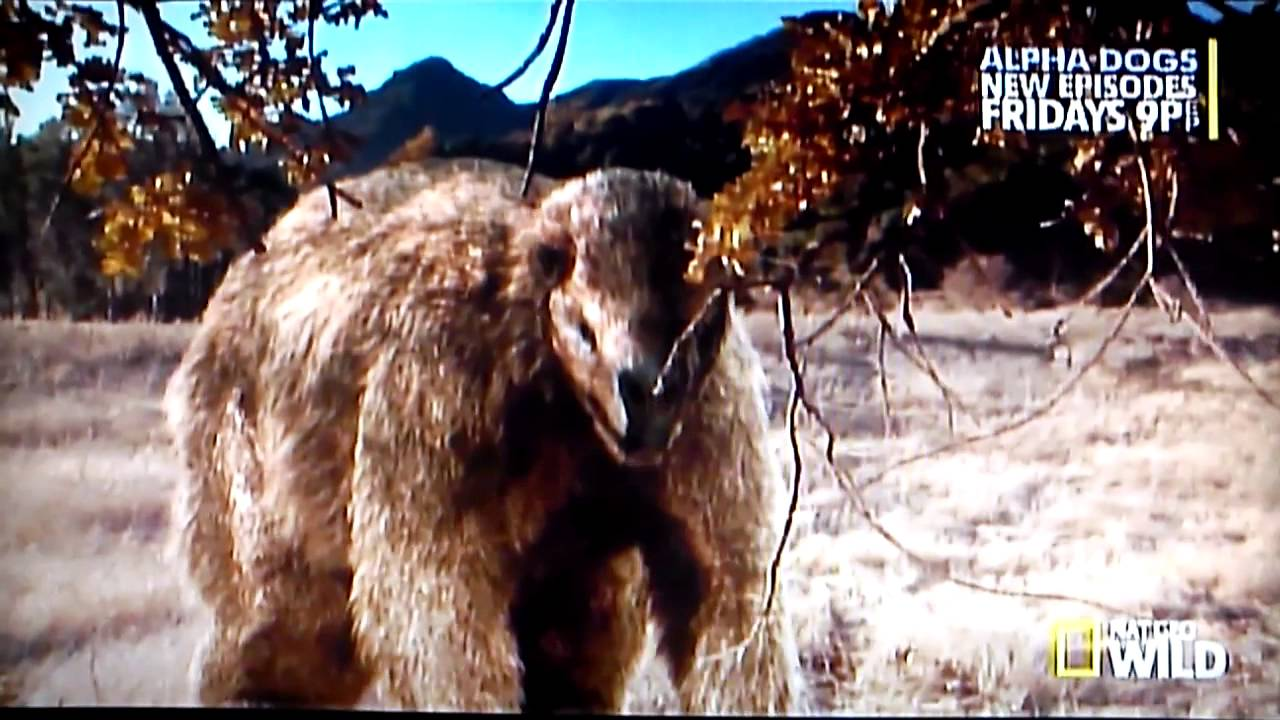 Animal Planet Wallpaper Prehistoric Predators Bear Part 2 Youtube