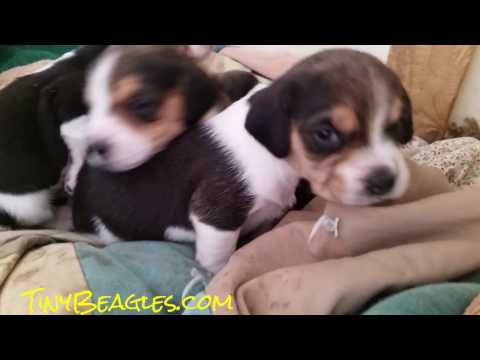 3 Week Old Tiny Christmas Pocket Beagle Puppies For Sale