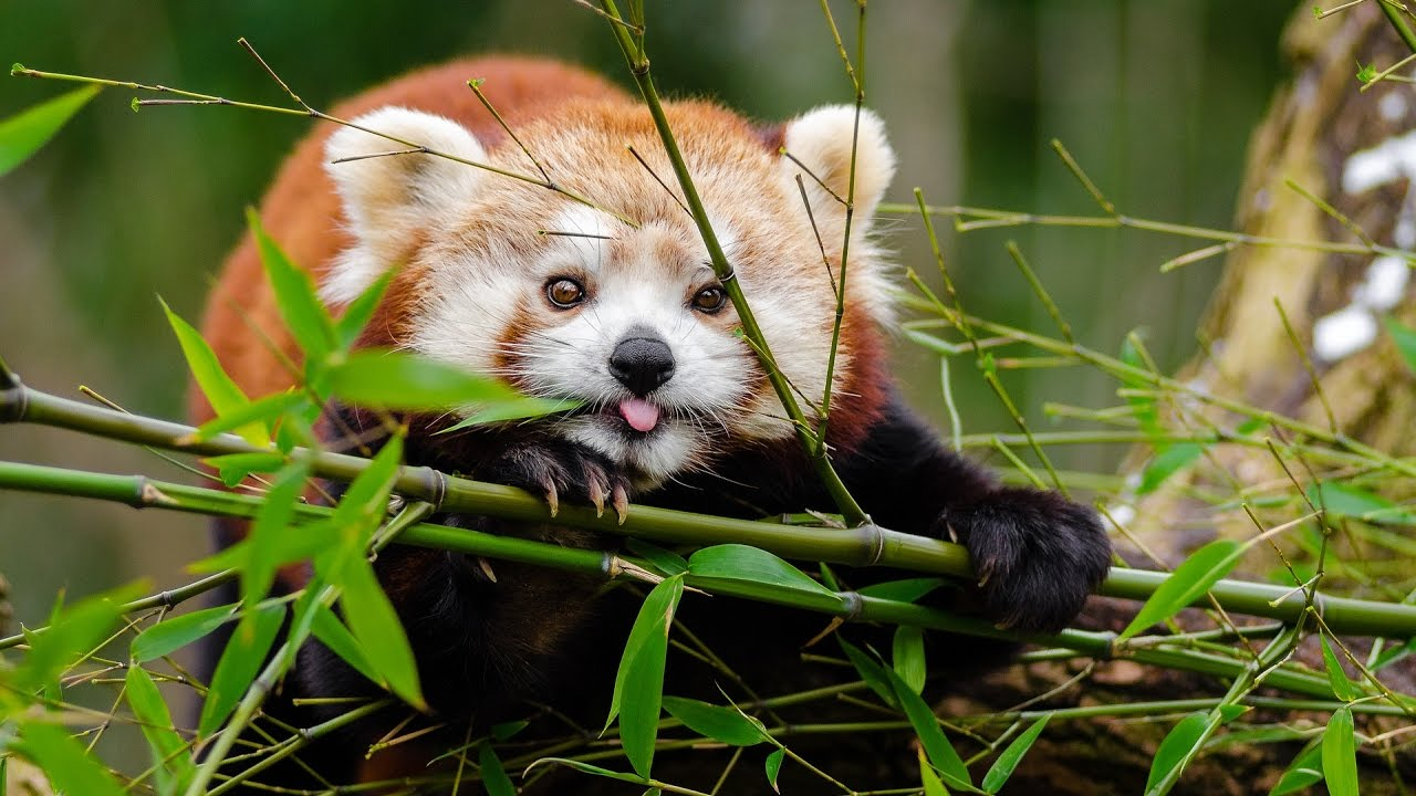Cute Pandas Wallpapers 13 Things You Didn T Know About Red Pandas Youtube