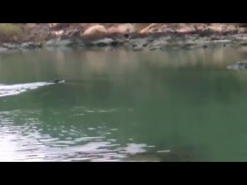 Boar swimming @ Penny's Bay (26dec15  VIDEO1414)