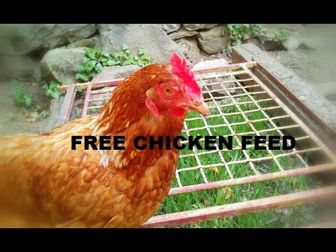 How To Grow/Get Free Chicken Feed - Chicken Bed Protector