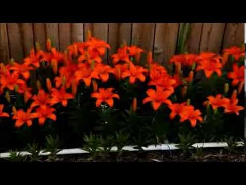My 2016 Orange Asiatic Lily Bed