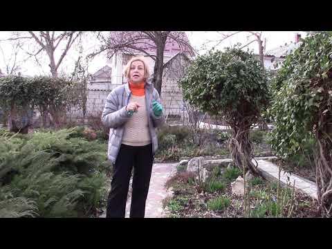 Декоративная жимолость для дизайна сада.  Какая лучше!?