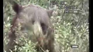 Canada - Strada dei laghi - Orso bruno sul bordo della strada - Animali Supergreen
