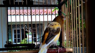 KENARI AF NGERIWIK GACOR | WARNA BON KUNING |( CANARY SINGING )