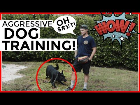 Aggressive German Shepherd tries to attack dog trainer- aggressive dog behavior training