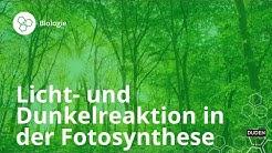 Licht- und Dunkelreaktion in der Fotosynthese – Biologie   Duden Learnattack