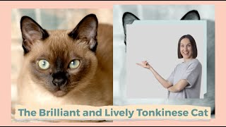 The Brilliant and Lively Tonkinese Cat
