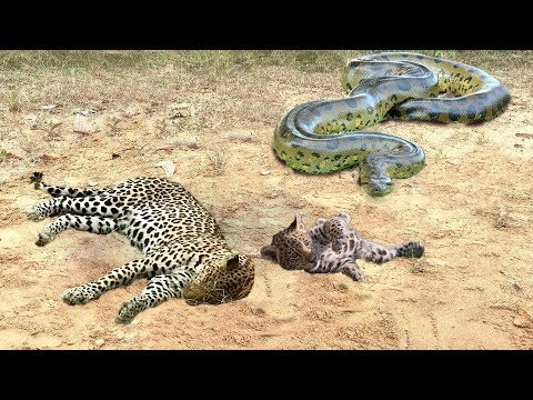 Mother Leopard Attack Giant Python To Protect Cub - Leopard vs Snake Python | Wild Animals Fights