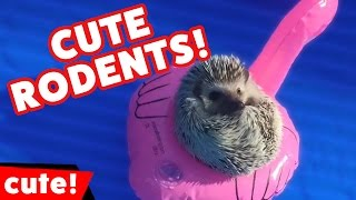 Funniest Mice, Squirrels, Hamsters & Rodents Compilation October 2016   Kyoot Animals