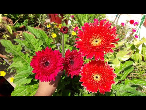 How to Grow Gerbera by Seeds || Easy Way to Grow Gerbera Plant by Seeds