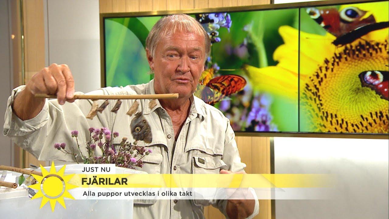 Så gör du en egen fjärilshörna i trädgården - Nyhetsmorgon (TV4)