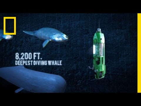 Does the Megalodon Shark Live in the Mariana Trench? | Exemplore