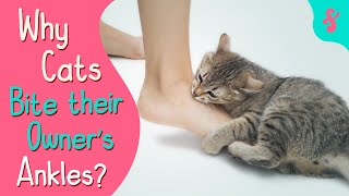 Why Does My Cat Grab and Bite my Ankles?   Furry Feline Facts