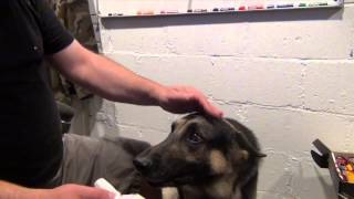 Aggressive German Shepherd Ear Cleaning