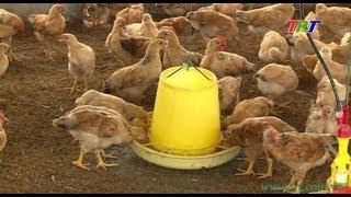 TT Huế không còn lo thiếu gà giống để phát triển chăn nuôi