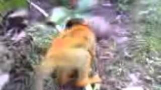 Repeat youtube video Polvo deL Mono y la gallina costa rica